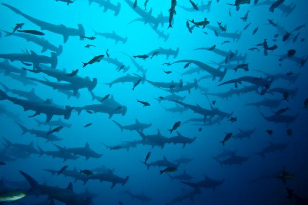 requin marteau en banc, Galapagos